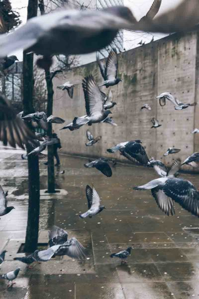 A flock of pigeons flying away during the rain