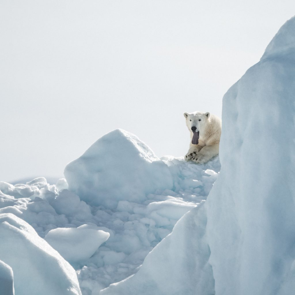 A white polar bear standing on top a lot of ice