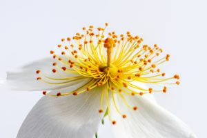A macro image of a yellow flower on a white background shot using Macro or Closeup filter