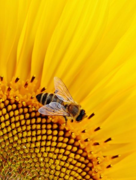 Close up shot of a bee in a sunflower